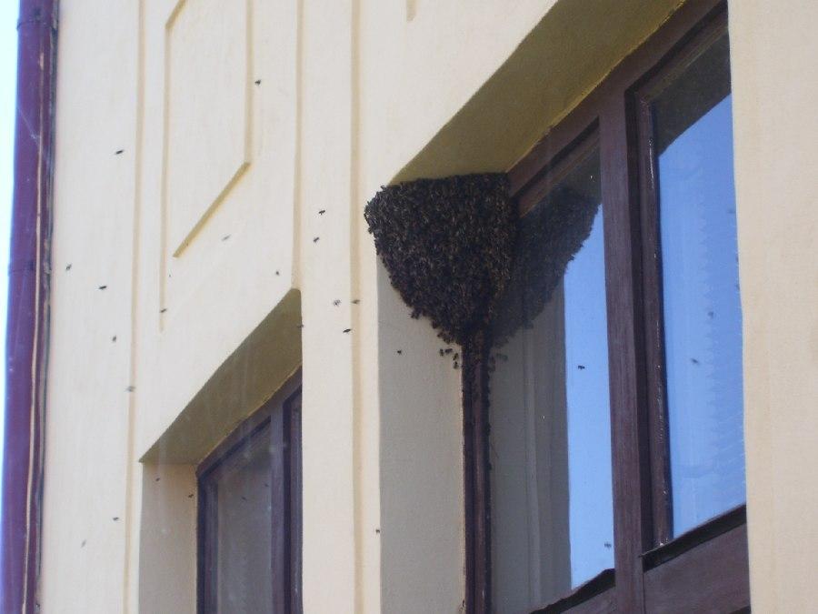 Prohlížíte si obrázky k článku: Roj včel